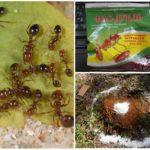 Использование препарата от муравьев ФАС Дубль