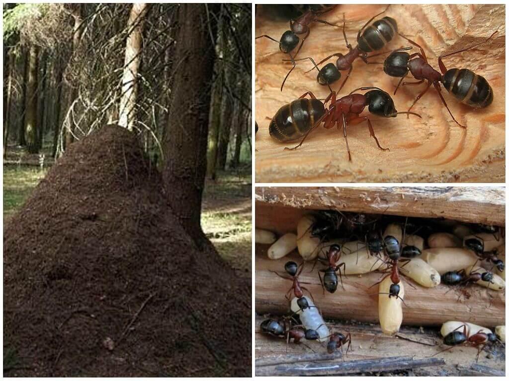 Муравейник рыжих муравьев