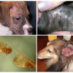 Собака часто чешется при наличии эктопаразитов