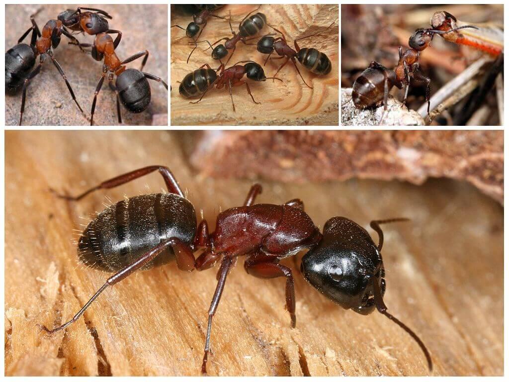 Красногрудые муравьи древоточцы