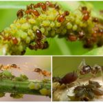 Симбиоз муравьёв и тли
