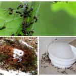 Манка от муравьев в огороде и саду