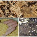 Применение пшена в борьбе с муравьями