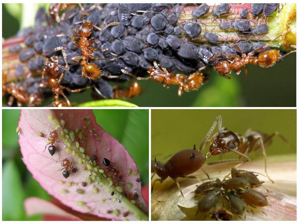 Симбиоз между муравьями и тлей