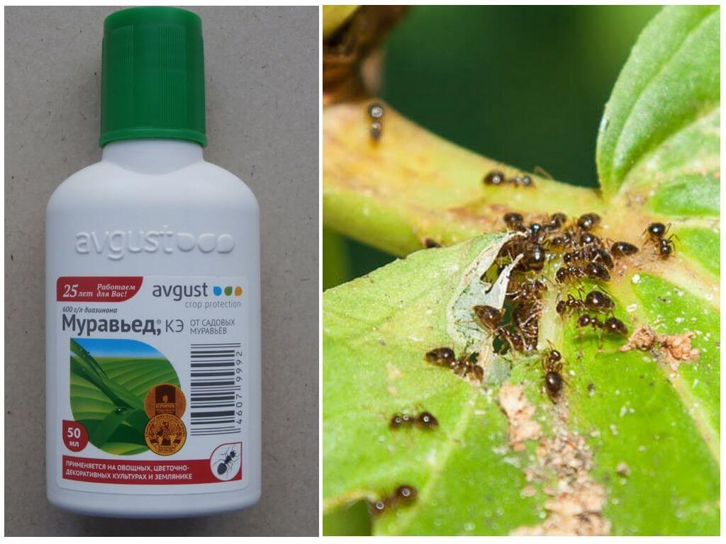 Муравьед от садовых муравьев