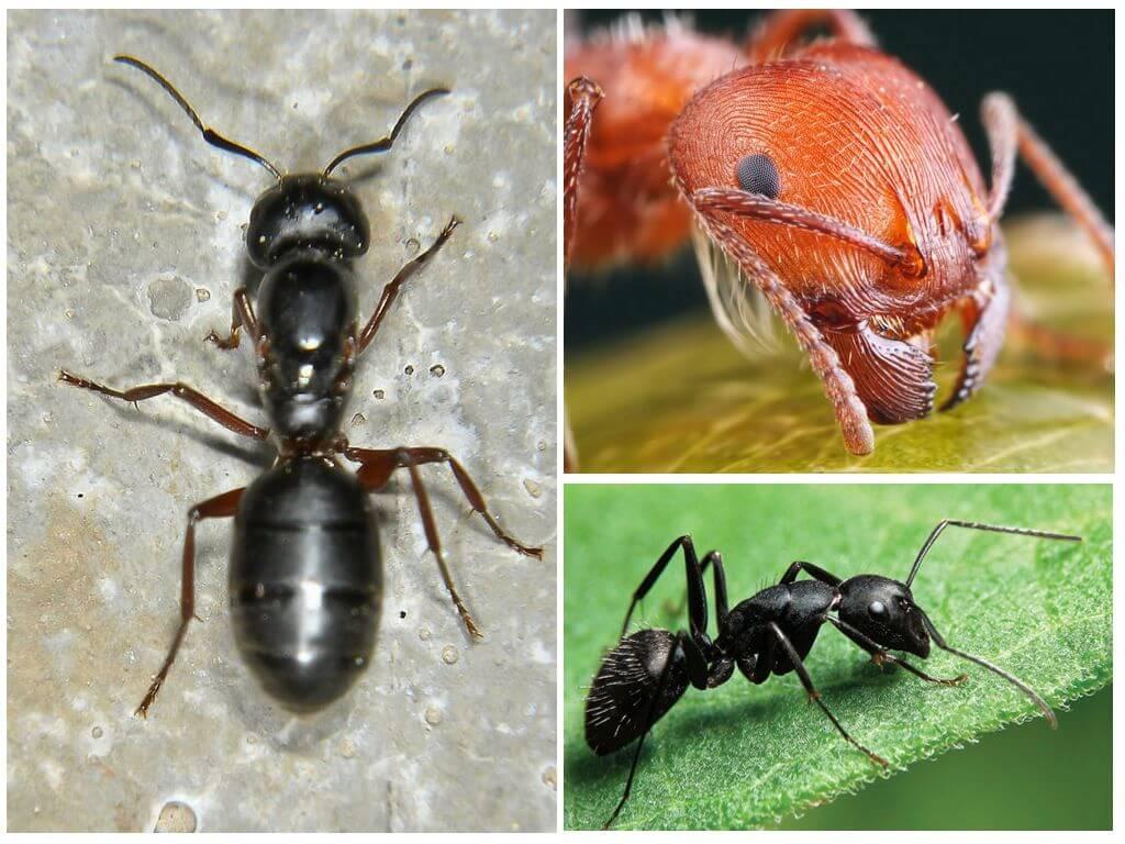 Внешний вид муравья