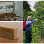 Борьба с муравьями и тлей на яблоне
