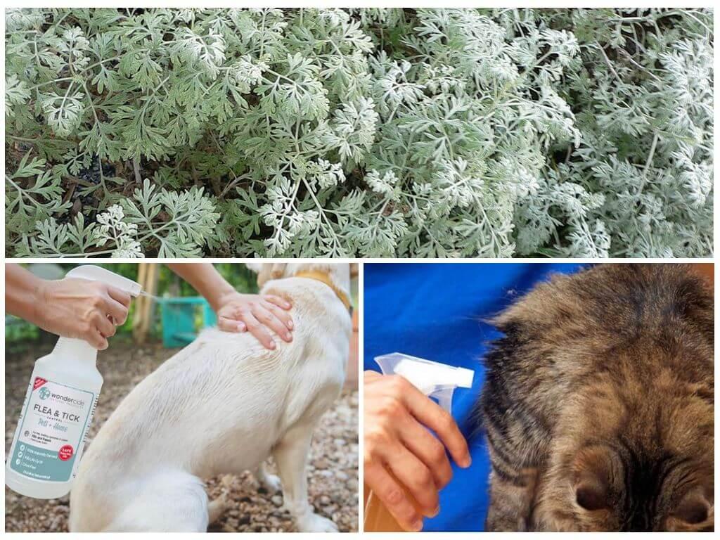 Обработка отваром из полыни домашних животных