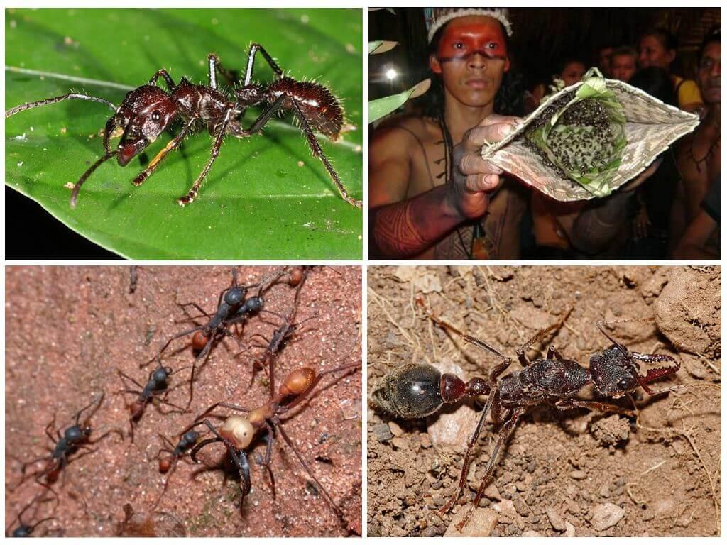 Опасные виды муравьев