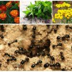 Ароматные растения с отпугивающим эффектом