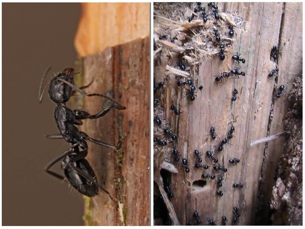 Пахучие муравьи древоточцы