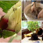Замена почвы при заражении муравьями