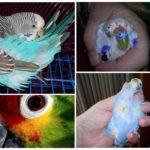 Признаки появления блох у попугаев