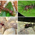 Экзотические гиганты: муравей пуля и муравей бульдог
