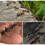 Среда обитания муравьев пуля