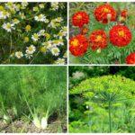 Растения отпугивающие тлю