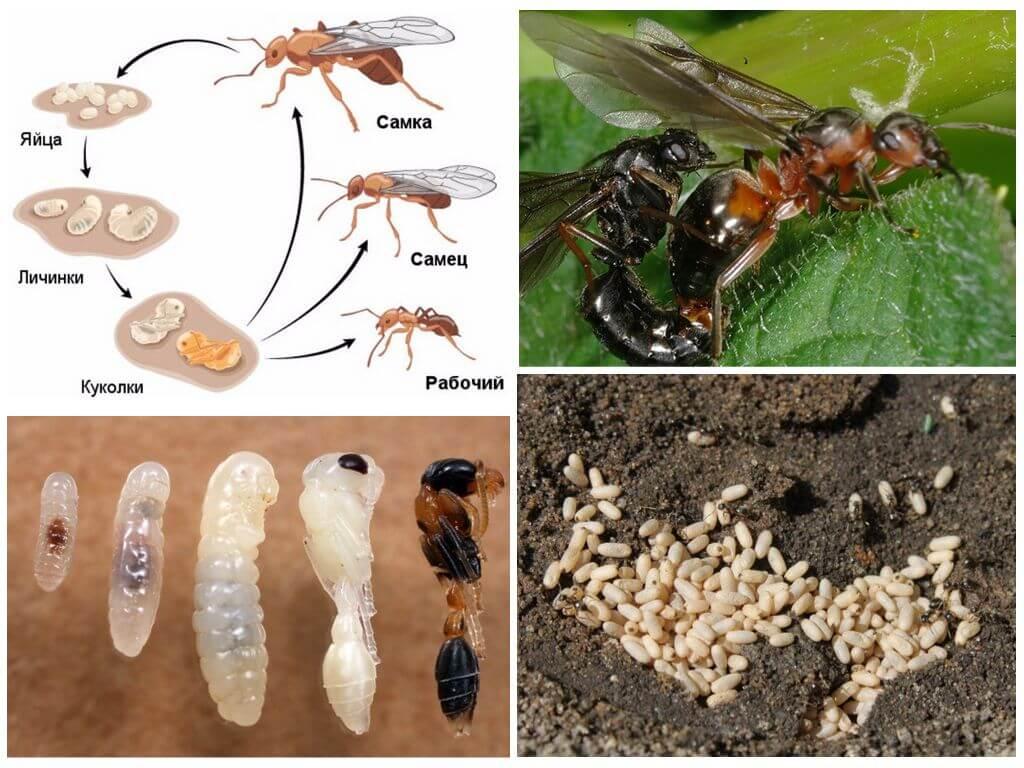 Размножение лесных муравьев