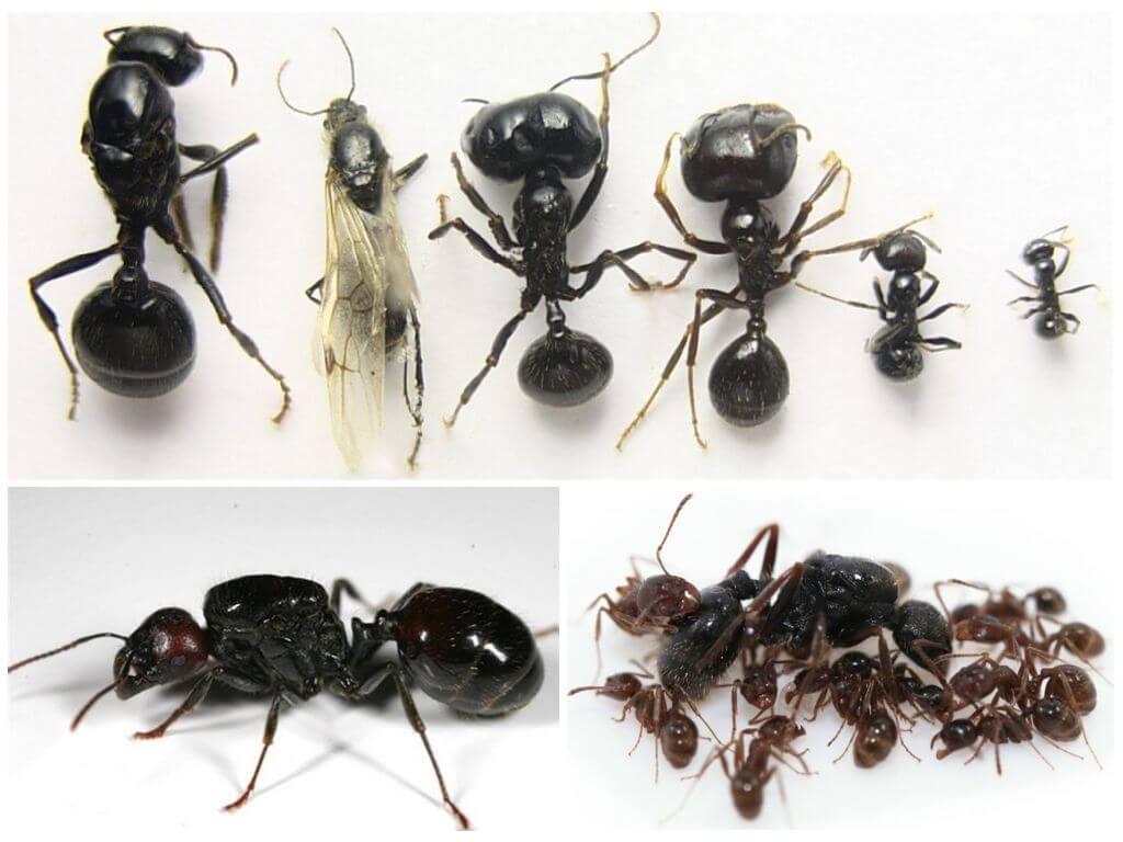 Муравьи жнецы - уход, питание, среда обитания и срок жизни 9