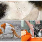 Обработка кошки шампунем
