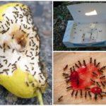 Сладости и муравьи