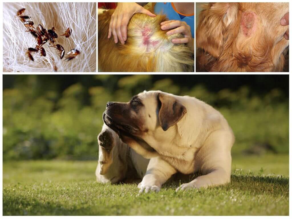 Причины зуда у собак
