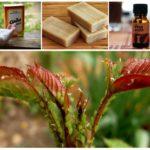 Сода от тли на растениях