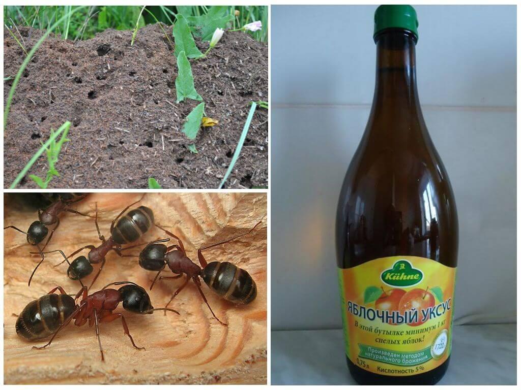 Уксус от муравьев в саду и огороде