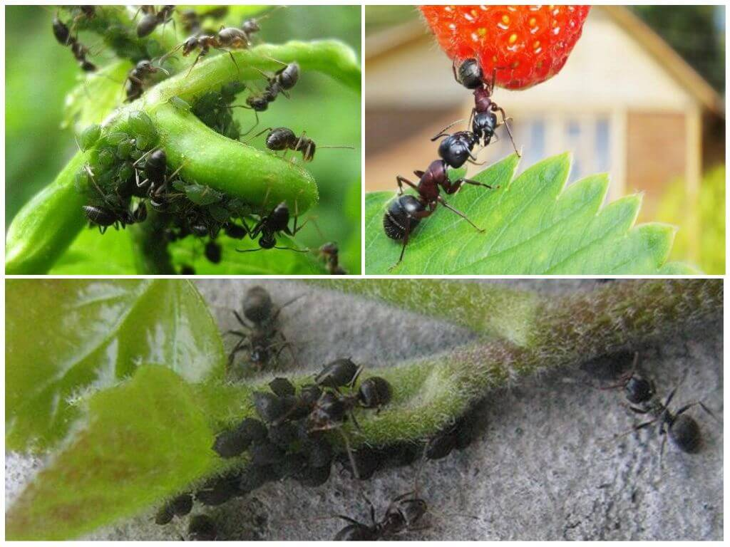 Вред от муравьев