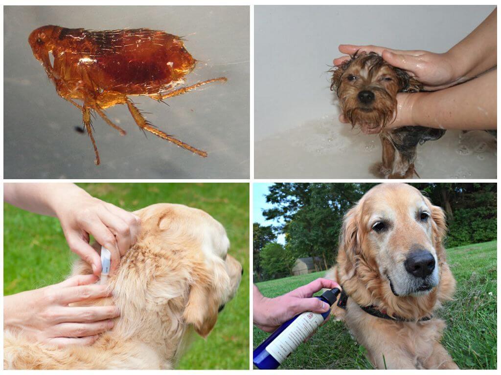 Выведение блох у домашних животных