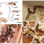 Жизнь и размножение муравьев