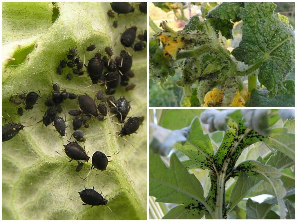 Черная тля на огурцах и помидорах