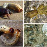 Личинки майского жука и медведки