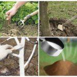 Предварительная обработка груши от тли