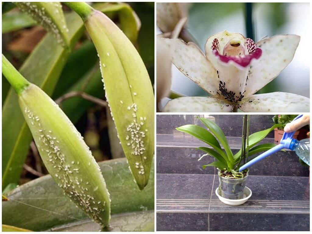 Тля на орхидее