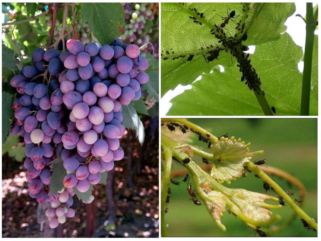 Тля на винограде