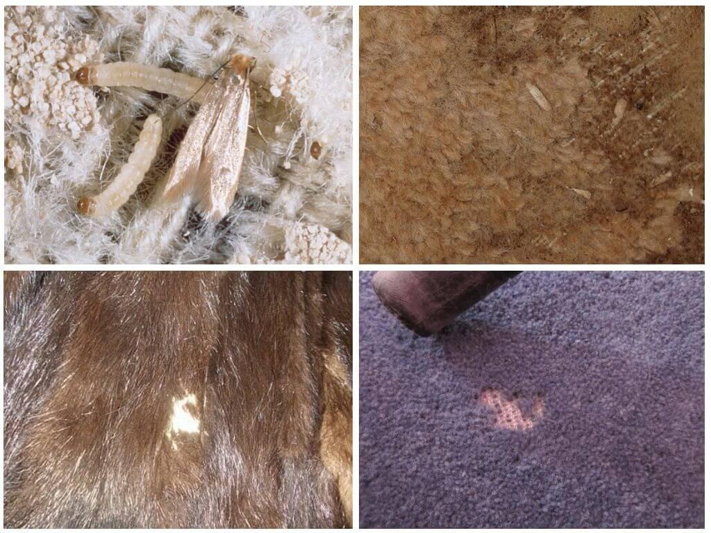 Моль шубная (ковровая)