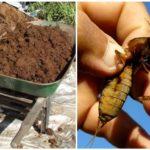 Борьба с капустянкой навозными кучами