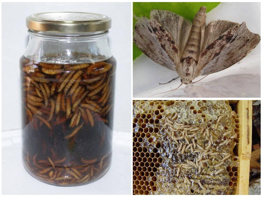 Настойка пчелиной моли