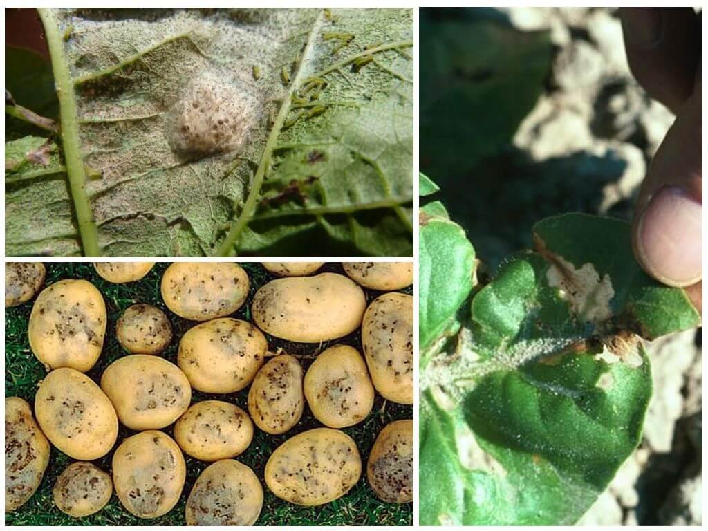 Следы поражения молью на картофеле