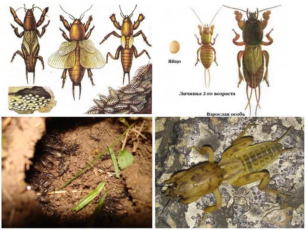 Стадии развития капустянки