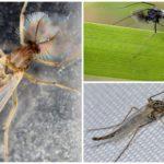Комар-звонец из семейства Chironomidae