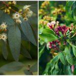 Эвкалипт и гвоздичное дерево против комаров