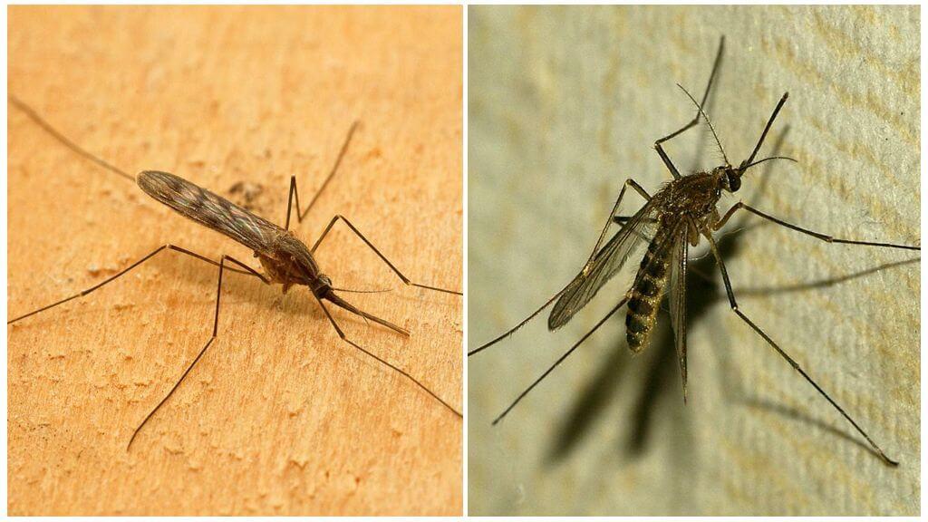 Малярийный комар и комар обыкновенный