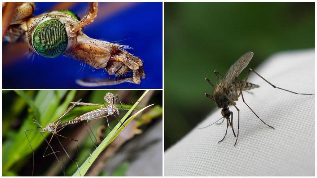 Размножение комара