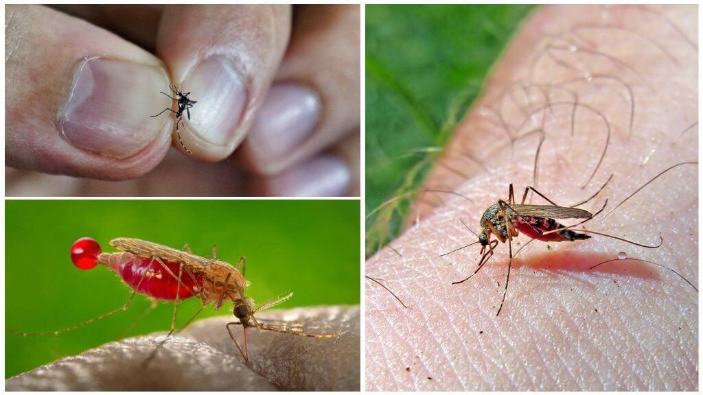 Насыщение комара кровью