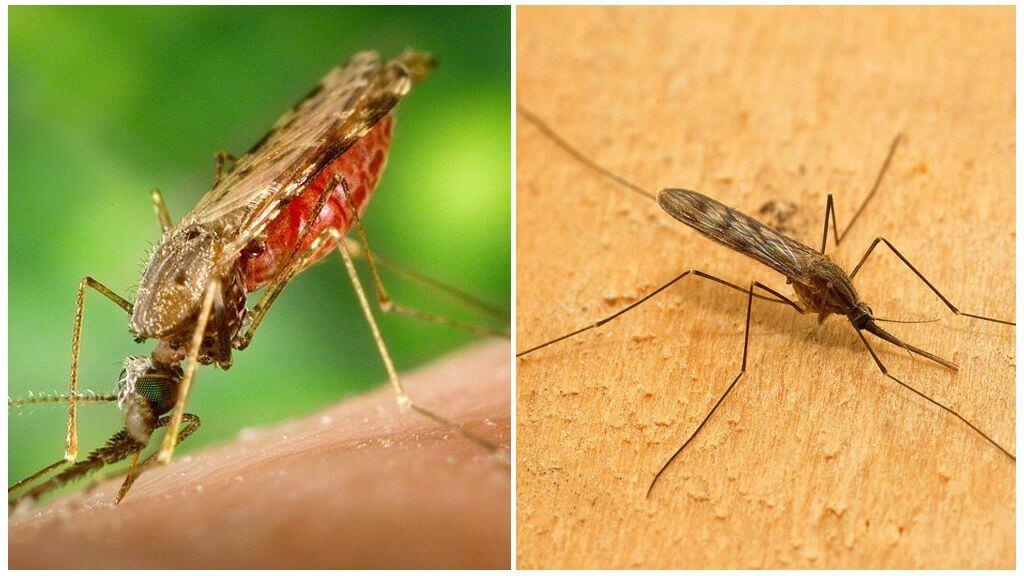 Малярийный комар