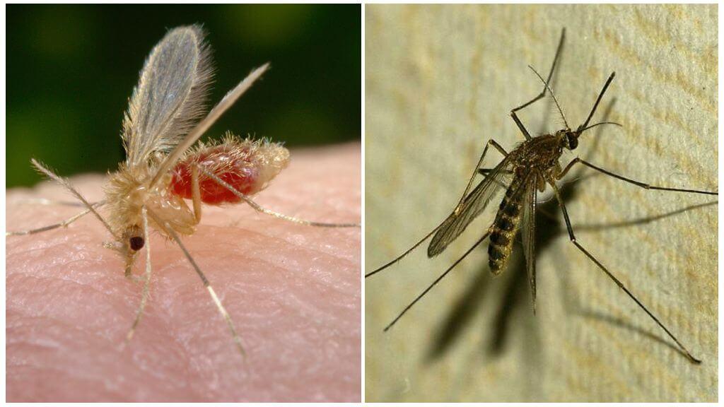 Москит (слева) и комар обыкновенный (справа)