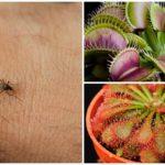Росянка и мухоловка для борьбы с комарами