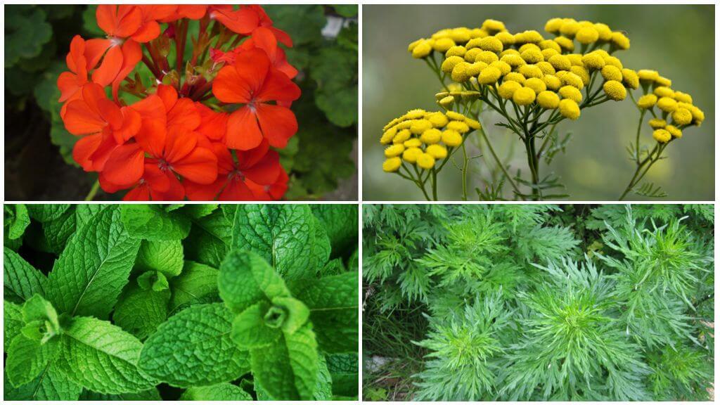 Растения, отпугивающие насекомых