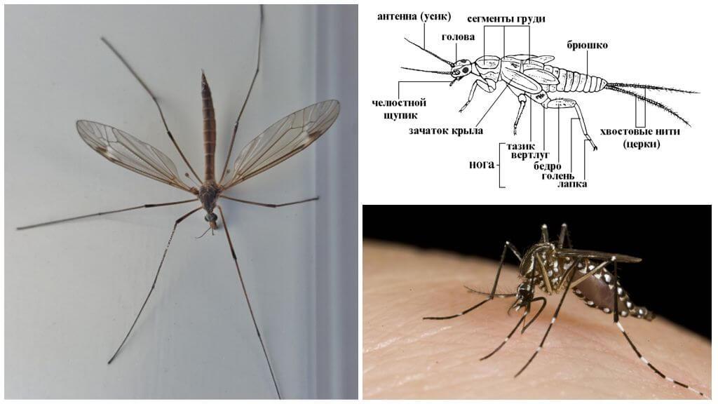 Строение комара